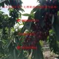 黄鸣樱桃苗、黄鸣樱桃苗新品种及批发基地