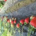 日本淡雪草莓苗供應 日本淡雪草莓苗多少錢一株