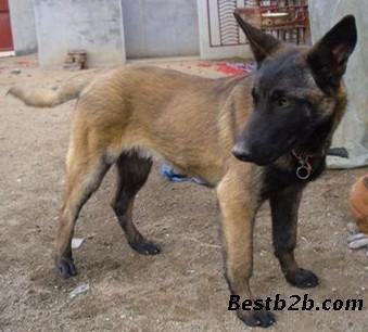 幼崽马犬多少钱马犬市场价格行情