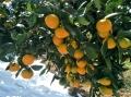 供應早熟柑橘新品種60cm由良蜜桔成品苗