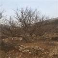 山東1公分石榴苗、山東1公分石榴苗價錢及基地