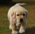 廣州一般買狗的市場 廣州賣拉布拉多貴不貴 帝威狗場