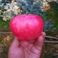 山東蜜脆蘋果苗價格
