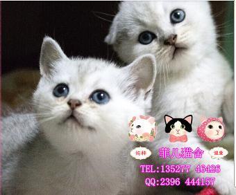 英短图片专业猫舍 广州菲儿猫舍出售可爱纯种健康银渐层baby
