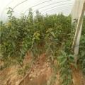 出售早熟櫻桃苗出售基地 早熟櫻桃苗出售基地