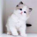 廣州白云有寵物貓純種布偶貓性格布偶貓好養