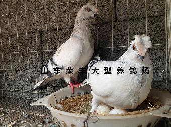 动物 鸽子 品种/中国观赏鸽品种大全