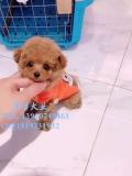 棕紅色泰迪犬 黑色泰迪犬出售 茶杯韓系泰迪犬