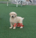 北京哪賣純種金毛犬幼犬 買金毛犬幼犬價錢
