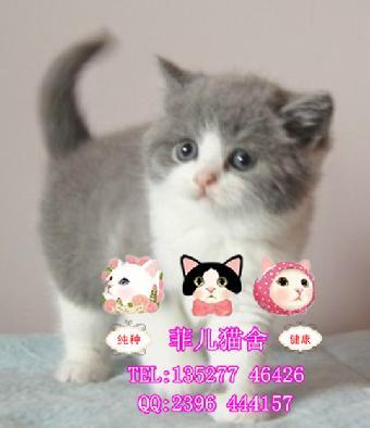 广州哪里有出售超超超可爱纯种英短蓝白猫