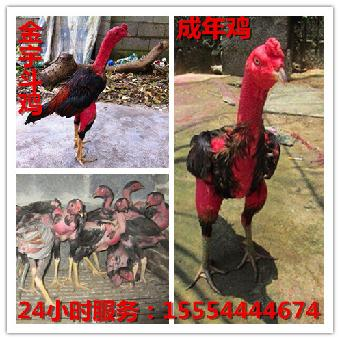 贵州有卖斗鸡苗的贵州有斗鸡蛋的尺寸冰球鞋套图片
