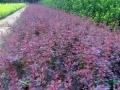 紅葉小檗批發,河北紅葉小檗基地