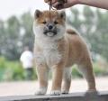 佛山禅城哪里有狗场 禅城区哪里?#26032;?#26612;犬 柴犬多少钱