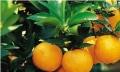 河源哪里有阿尔及利亚夏橙苗卖啊