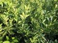 基地直發地徑1公分左右紐荷爾臍橙苗