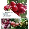 4公分含香樱桃苗种植和浇水,含香樱桃苗