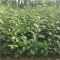 脆柿子苗、脆柿子树苗、脆柿子树苗价格多少