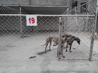 格力犬/联系我时请说明来自志趣网,谢谢! 关键字:格力犬养殖格力犬价格