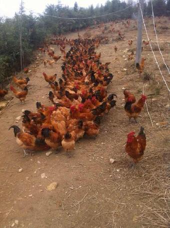 四川野鸡养殖技术_蛋鸡和土鸡杂交好处-吃土鸡的好处/斗鸡和土鸡杂交后代/绿壳 ...