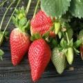 山谷女王草莓苗批發價 山谷女王草莓苗多少錢一株