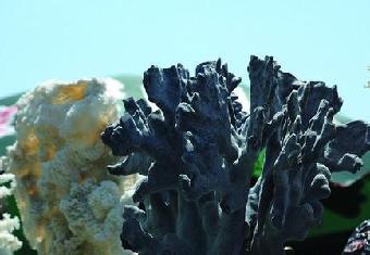 古巴哪里有黑珊瑚多少钱一克