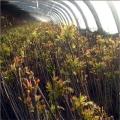 新品种香椿芽苗基地、