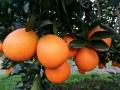 常德一年生紐荷爾臍橙苗均高55cm根系發達成活率高