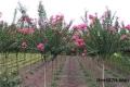 河南13公分百日紅苗木種植基地當天發貨