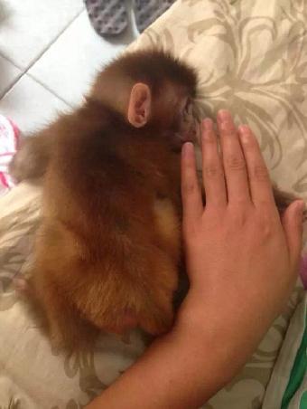 袖珍小猴子多少钱