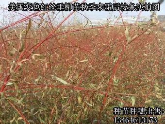 绿化柳树珍稀品种美国红丝垂柳-双色垂种穗