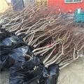 超早红蜜桃树苗、山东超早红蜜桃树苗、超早红蜜桃树苗价格
