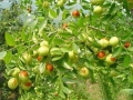 五十万亩冬枣苗基地专注枣树苗种植
