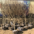 紅巨蜜石榴樹苗、紅巨蜜石榴樹苗基地