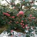 蘋果樹苗、蘋果樹苗價格及報價