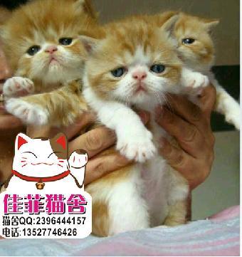 大脸大眼睛加菲猫超可爱超级萌爱干净宝贝非常健康
