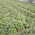 哪里賣章姬草莓苗、艷麗草莓苗怎么種