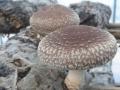 溫室大棚種植香菇的優勢