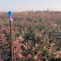 藍莓苗苗圃基地、山東自由藍莓苗基地