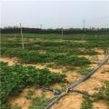 哪里有京?#22841;?#30333;草莓苗卖、京?#22841;?#30333;草莓苗多少钱一棵