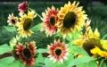 彩色向日葵種子銷售電話