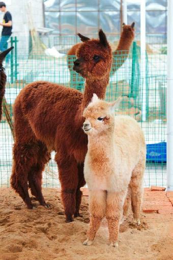 长春出租羊驼 动物表演