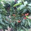購買先鋒櫻桃苗種植基地