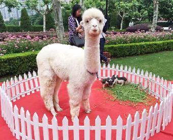 上海市,租赁羊驼,出租动物马戏团