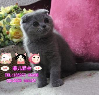 广州菲儿猫舍性格温顺善良可爱英短折耳美短折耳猫