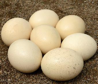 鸵鸟蛋多少钱一个
