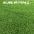 广东佛山马尼拉草坪种子春节批发价格