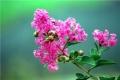 潢川6公分紫薇苗圃基地發貨