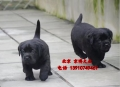纯种大头版拉布拉多出售 拉布拉多价格 北京京博犬舍