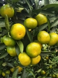 江西九江種植特早熟大分苗成熟期在8月份