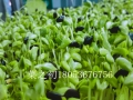 芽苗菜無土種植-芽苗菜無土栽培-芽苗菜水培蔬菜